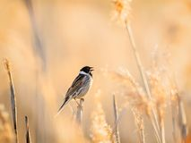 Reed bunting surrounded by reed royalty free stock photography