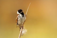 Male Reed Bunting singing Stock Photos