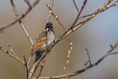 Male Reed Bunting. A Male Reed Bunting in Spring Stock Photo