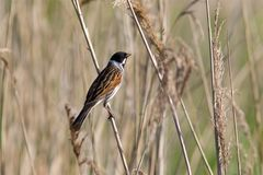 Male Reed Bunting in the spring sunshine Royalty Free Stock Photos