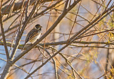 A male Reed Bunting in winter coloration stock photo