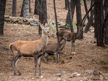 Male reed deer Cervus elaphus with two female deer in the fore Stock Images