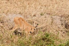 Male Reedbuck feeding by a stream. Closeup of Reedbuck scientific name: Redunca redunca, or `Tohe ndope` in Swaheli in the Tarangire National park, Tanzania Royalty Free Stock Photo