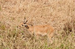 Male Reedbuck feeding by a stream. Closeup of Reedbuck scientific name: Redunca redunca, or `Tohe ndope` in Swaheli in the Tarangire National park, Tanzania Royalty Free Stock Images