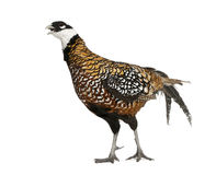 Male Reeves's Pheasant Stock Photo