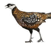 Male Reeves's Pheasant Stock Images