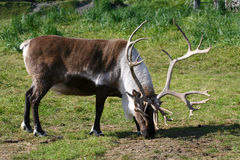 A Male reindeer or caribou grazing Royalty Free Stock Images