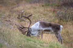 Reindeer Eating the grass stock photography