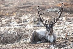 Male reindeer lying on the ground during a snow storm. Male reindeer with magnificent antlers lying on the ground during a snow storm. Khuvsgol, Mongolia royalty free stock images