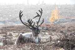 Male reindeer lying on the ground during a snow storm. Male reindeer with magnificent antlers lying on the ground during a snow storm. Khuvsgol, Mongolia stock photo