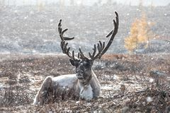 Male reindeer lying on the ground during a snow storm. Male reindeer with magnificent antlers lying on the ground during a snow storm. Khuvsgol, Mongolia stock images