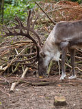 Male reindeer in natural habitat. Close up of a male reindeer in natural habitat Royalty Free Stock Images