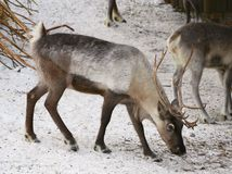 Male reindeer in Novosibirsk zoo. A deer with thick white-gray hair and large horns bowed its head to the ground. Snowy winter. Nature of Siberia, Novosibirsk royalty free stock photos