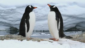 Male and relish Gentoo penguins on future nest site of a spring day stock footage
