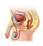 Male reproductive system Stock Images