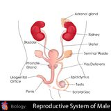 Male Reproductive System Royalty Free Stock Photography