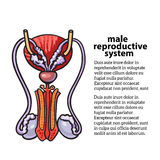 Male reproductive system Royalty Free Stock Image