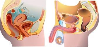male reproduktionssystem för kvinnlig vektor illustrationer