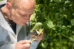 Male researcher examining leaf of tomato plant with magnifier at royalty free stock photography