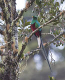 Male Resplendent Quetzal Royalty Free Stock Photography