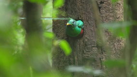 Male of Resplendent quetzal stock footage