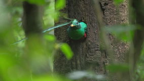 Male of Resplendent quetzal stock video footage