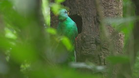 Male of Resplendent quetzal stock video