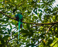 Male Resplendent Quetzal Stock Images