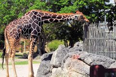 Male Reticulated giraffe in zoo Stock Images