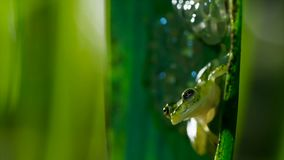 Male Reticulated Glass Frog Hyalinobatrachium valerioi guarding a clutch of eggs stock photography