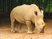 Male Rhino Stock Photography