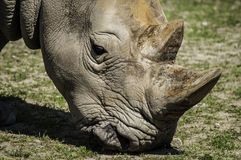 Male Rhino 2. A detailed shot of a male rhino head Stock Images
