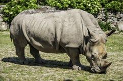 Male Rhino. A detailed shot of a male rhino head Stock Photos