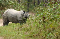 Male rhino live in chitwan nationnal park , nepal. Rhinoceros, plural rhinoceroses, rhinoceros, or rhinoceri, any of five or six species of giant, horn-bearing stock photography