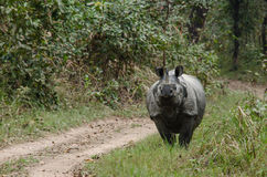 Male rhino live in chitwan nationnal park , nepal. Rhinoceros, plural rhinoceroses, rhinoceros, or rhinoceri, any of five or six species of giant, horn-bearing royalty free stock photos
