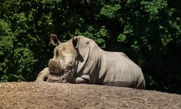 Male rhino relaxing. Closeup of a male rhino relaxing on a dirt surface with greenery in the background royalty free stock images