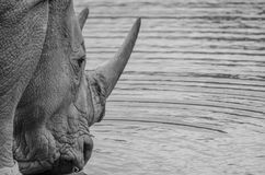 Male rhino spending some time at waterhole. This is a male rhino that was on his own and stopped for a drink at the waterhole on our safari in Africa Royalty Free Stock Images