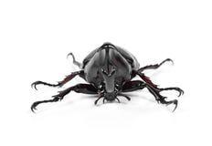 Male Rhinoceros beetle, Hercules beetle, Unicorn beetle, Horn be Royalty Free Stock Image