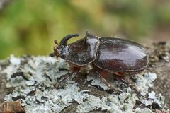 Male Rhinoceros beetle with  horn. Royalty Free Stock Photography
