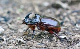 Male Rhinoceros beetle. Stock Photography