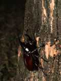 Male Rhinoceros beetle Royalty Free Stock Photography