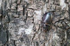 Male Rhinoceros beetle Royalty Free Stock Photos