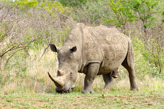 Male rhinoceros photographed at Hluhluwe/Imfolozi Game Reserve in South Africa. Stock Photos