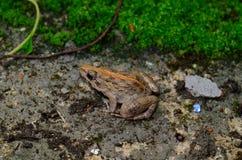 Male Rice Field Frog (Fejervarya limnocharis) Stock Photos