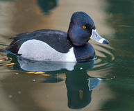 Male Ring Neck Duck. A male Ring Neck duck paddles in dark green water royalty free stock image