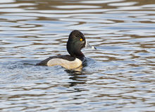 Male Ring Necked Duck - Aythya collaris Stock Photos