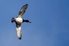 Male Ring-Necked Duck Flying in a Blue Sky Royalty Free Stock Photos
