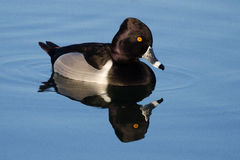 Male Ring-Necked Duck Stock Photo
