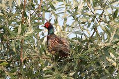 Male Ring-necked Pheasant Phasianus colchicus. In a tree Royalty Free Stock Photo