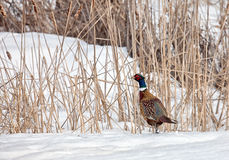 Ring necked pheasant Royalty Free Stock Image